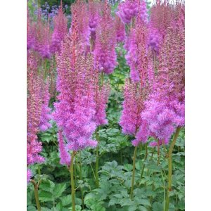 Astilbe  'Little Visions in Purple'