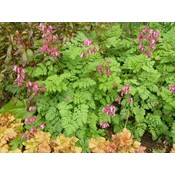 Dicentra for. 'Luxuriant'