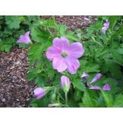 Geranium endressii lpurproze