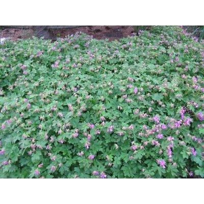 Geranium macrorrhizum rozerood