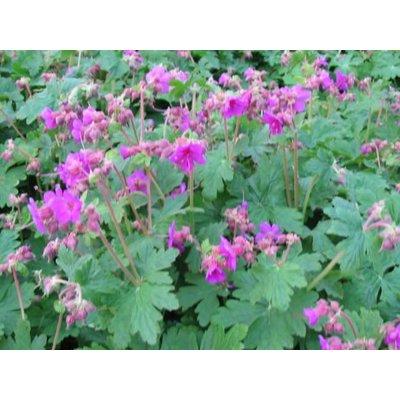Geranium mac. 'Czakor' droze