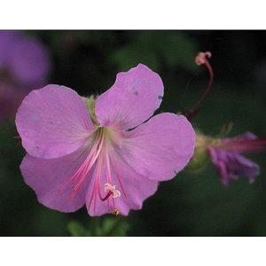 Geranium can. 'Karmina'roze
