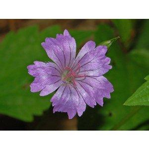 Geranium nodosum lilaroze