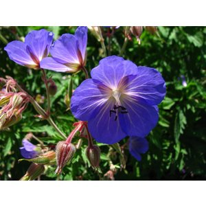 Geranium 'Johnson's Blue' hblauw