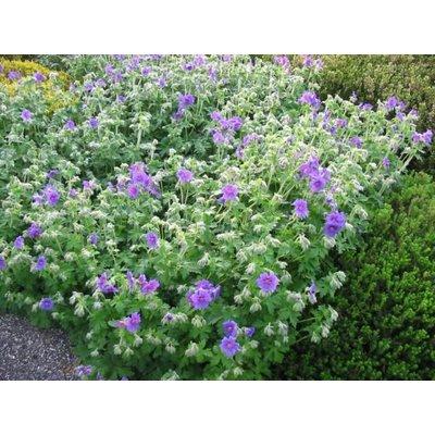 Geranium magnificum violet
