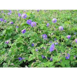 Geranium himalayense diepviolet