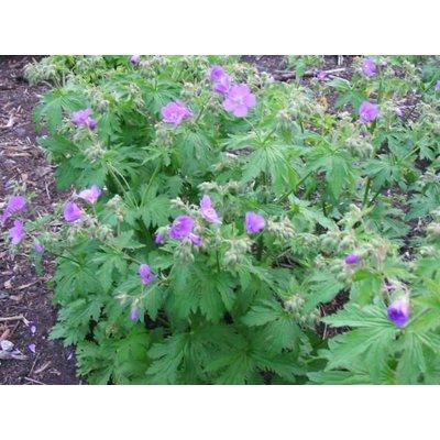 Geranium syl. 'Mayflower' lila