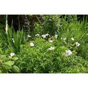 Geranium mac. 'White-Ness'