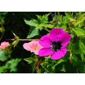 Geranium cin. 'Splendens' dieproze