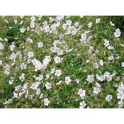 Geranium cla. 'Kashmir White'witroz