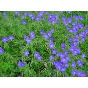 Geranium 'Brookside' blauwpaars
