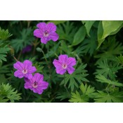 Geranium san. 'Tiny Monster'