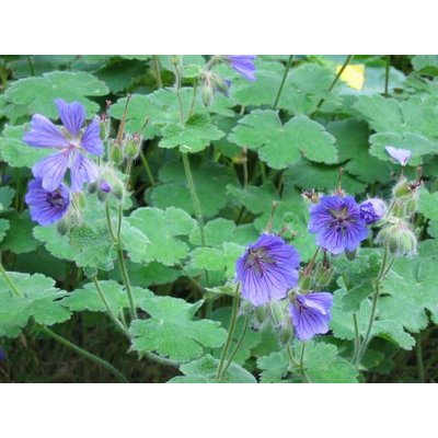Geranium ren. 'Phillippe Vapelle'
