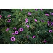 Geranium 'Patricia'zkarmroze+zwart