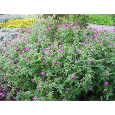 Geranium psilostemon paarsrood