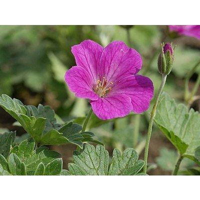 Geranium riv. 'Russell Prichard'