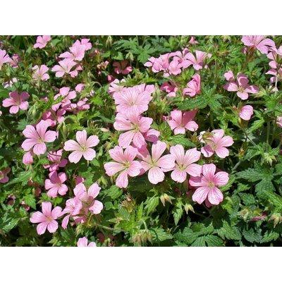 Geranium riv. 'Mavis Simpson'roze