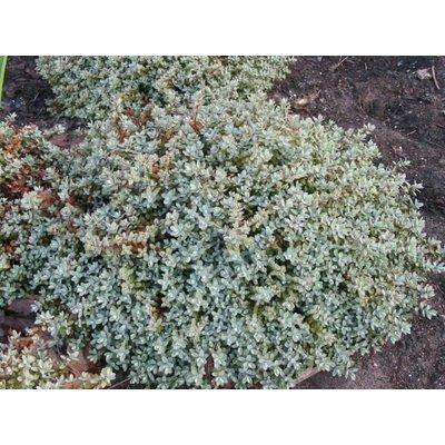 Hebe Pinquifolia Pagei