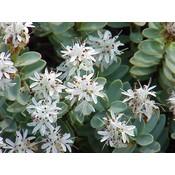 Hebe Pinquifolia