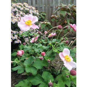 Anemone hup. 'September Charm'droze