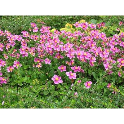 Anemone hyb. 'Hadspen Abundance'roz
