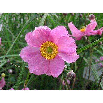 Anemone hyb. 'Serenade'