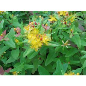 Hypericum inod. 'Excellent Flair'