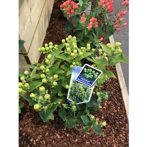 Hypericum inod.Magical limelight®