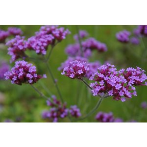 Verbena bon. 'Lollipop'