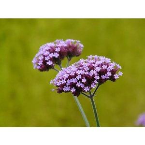 Verbena bonariensis violetlila
