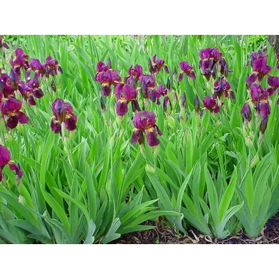 Iris Red Orchid