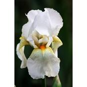 Iris White Knight