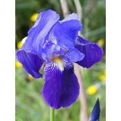 Iris Perry's Blue