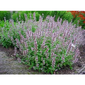 Nepeta gra. 'Dawn to Dusk'