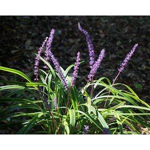 Liriope mus. 'Royal Purple'