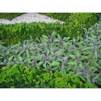 Salvia off. 'Purpurascens'