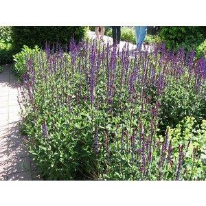 Salvia nem. 'Caradonna'