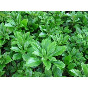 Pachysandra 'Green Carpet'