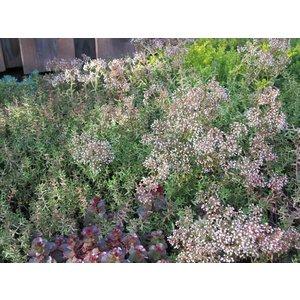 Sedum alb. 'Coral Carpet'