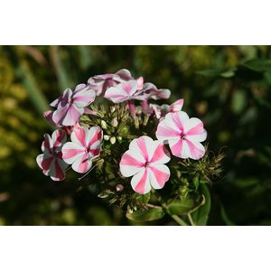 Phlox (P) Candy Twist