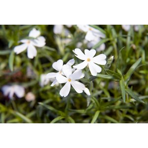 Phlox (S) 'White Delight'
