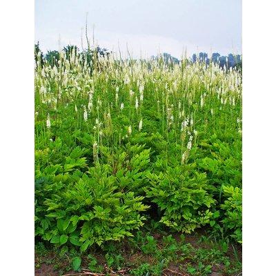 Actaea racemosa wit
