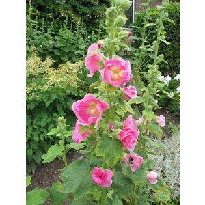 Alcea rosea 'Pleniflora' (gemengd)