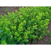 Alchemilla vulgaris groengeel