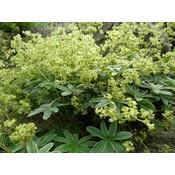 Alchemilla alpina groengeel