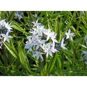 Amsonia ciliata zachtblauw