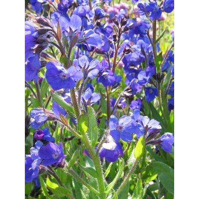 Anchusa azu. 'Loddon Royalist'blauw
