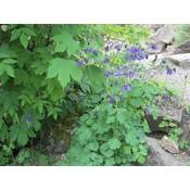 Aquilegia vulgaris blauw
