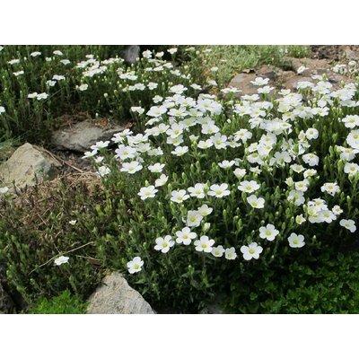 Arenaria montana wit