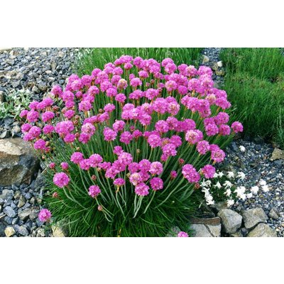 Armeria mar. 'Splendens Perfecta'ro